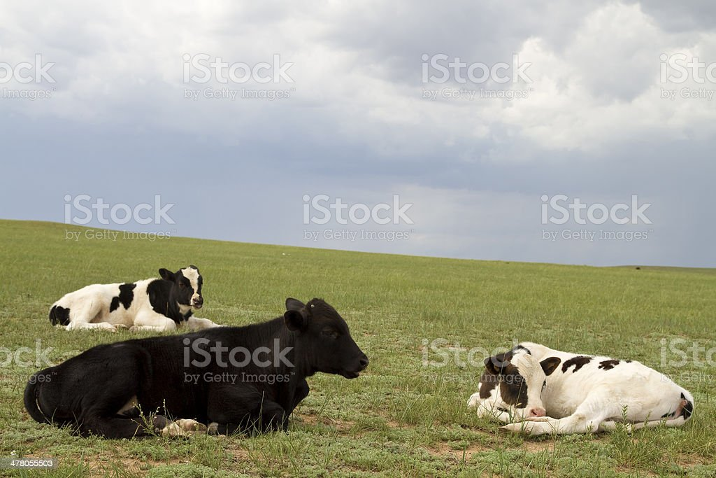 Cows on pasture royalty-free stock photo