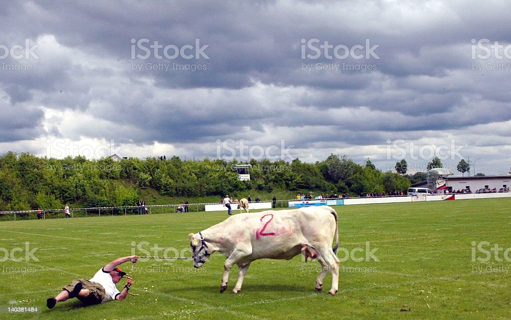 Cows on soccer field stock photo