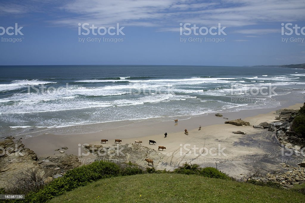 Cows on the beach royalty-free stock photo