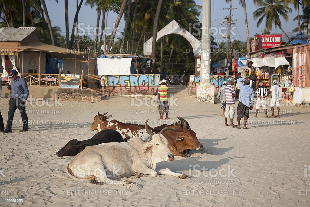 Cows on the beach stock photo