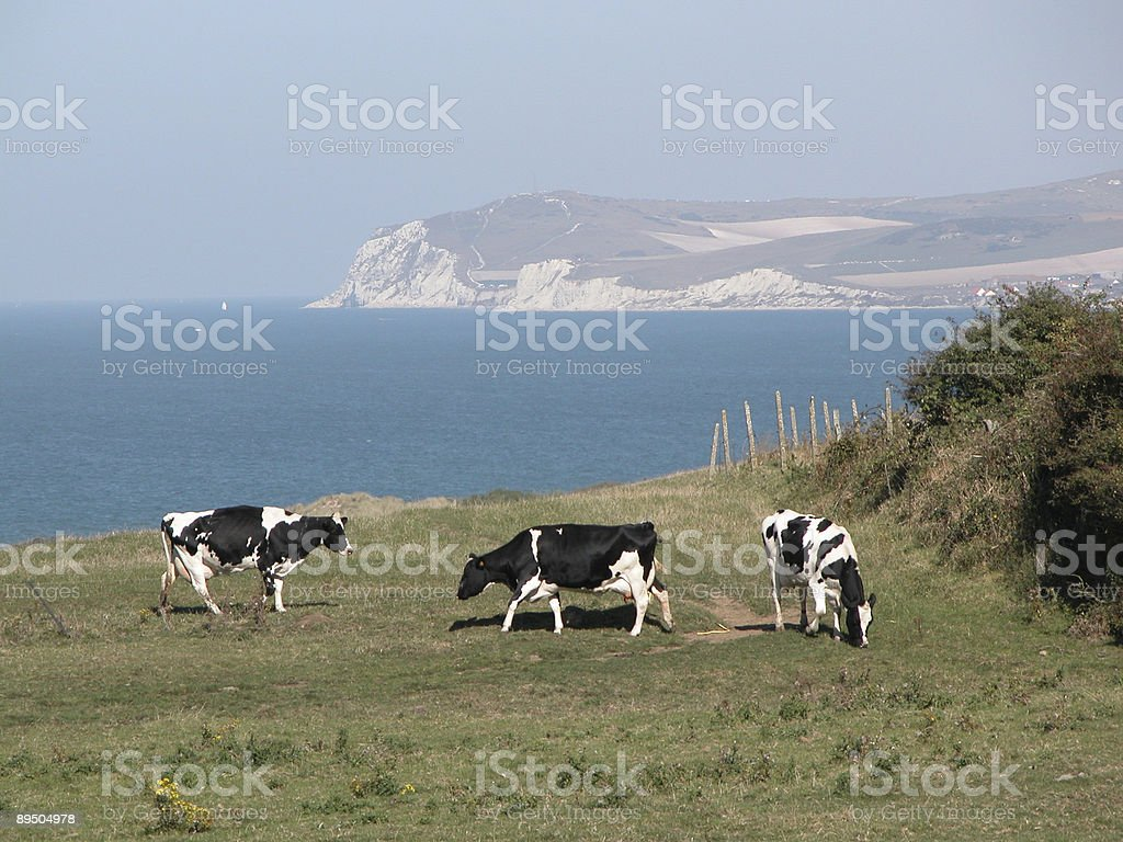 Cows on the cliffs royalty-free stock photo