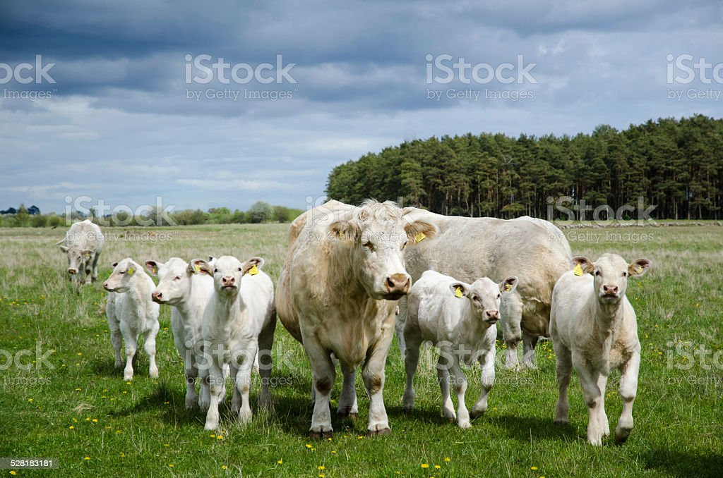 Cows on the go stock photo
