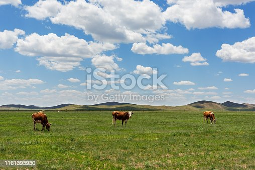 Cows on the grassland