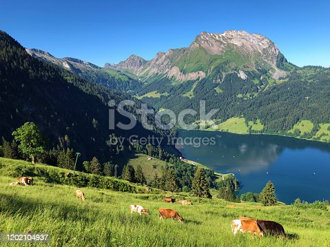 Cows on the grasslands in the valley of Wagital or Waegital and by the alpine Lake Wagitalersee (Waegitalersee), Innerthal - Canton of Schwyz, Switzerland