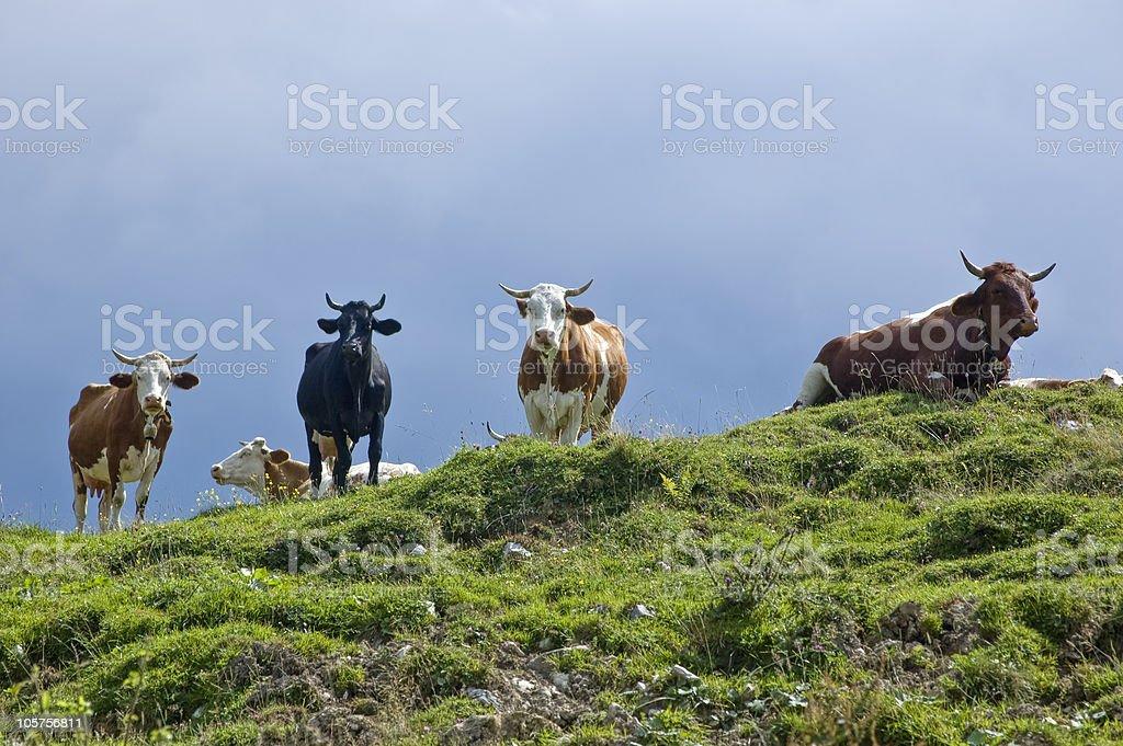 Kühe auf der Pasture – Foto