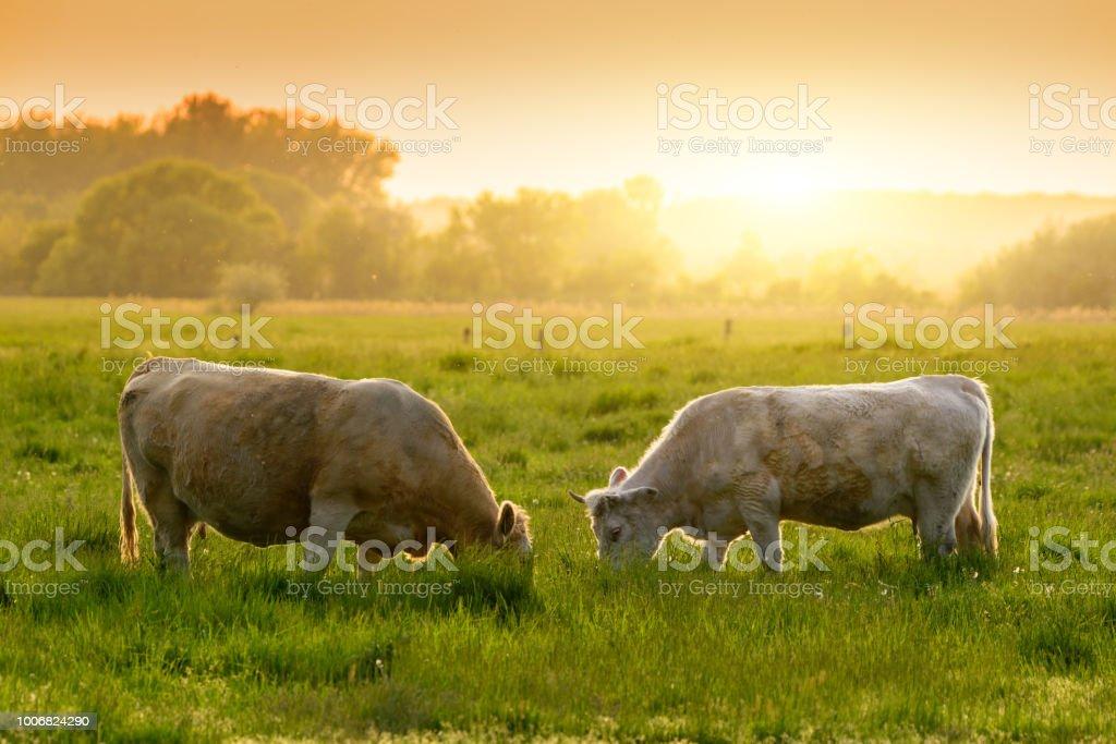 Kühe auf der Weide Sonnenuntergang leuchtet – Foto