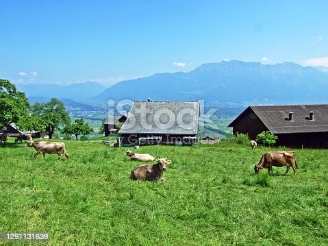 Cows on the pastures of the slopes of Alpstein mountain range and the fertile Rhine river valley (Rheintal), Gams - Canton of St. Gallen, Switzerland