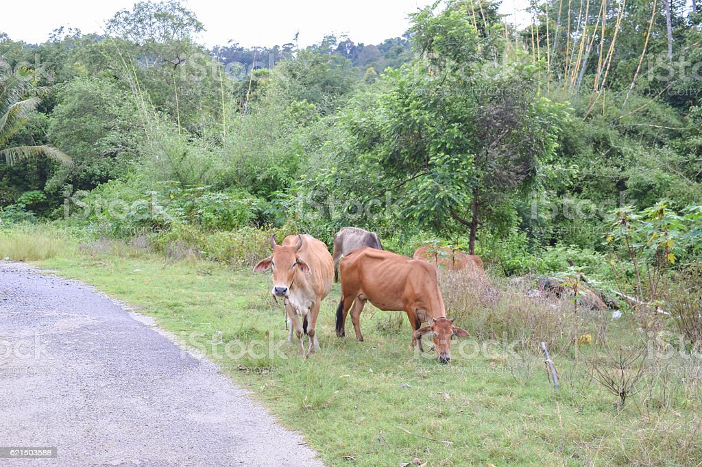 Cows on the road in the forest photo libre de droits