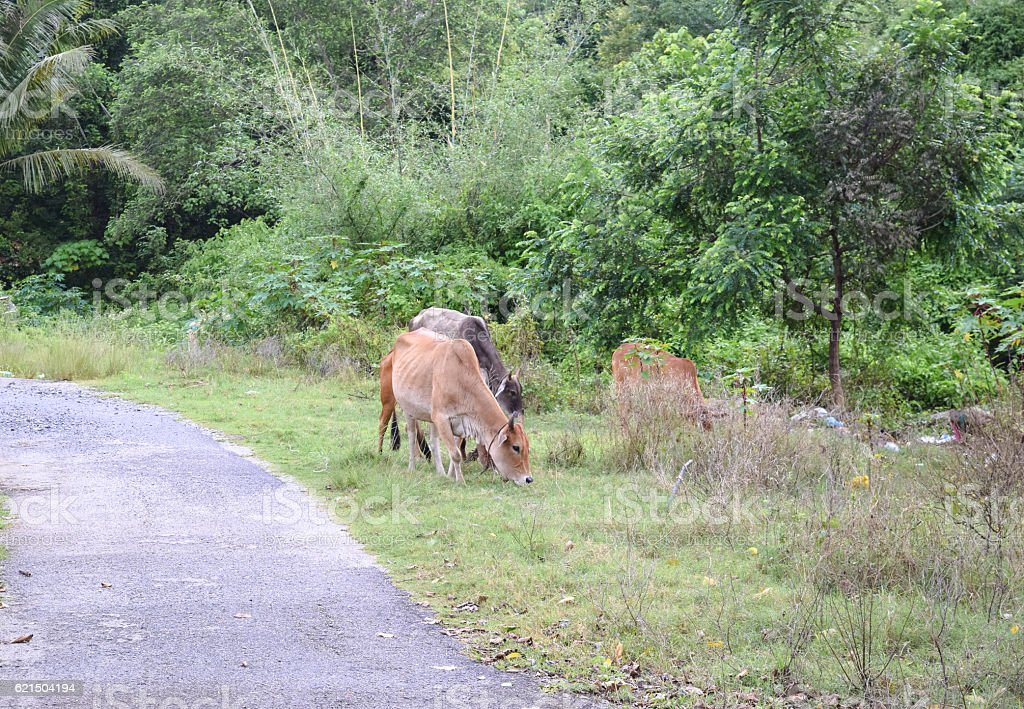 Cows on the road in the forest foto stock royalty-free