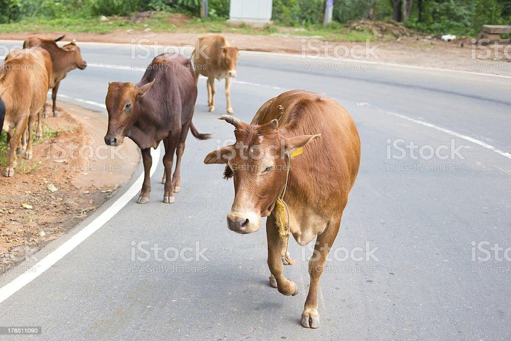 Cows on the Sri Lanka road royalty-free stock photo