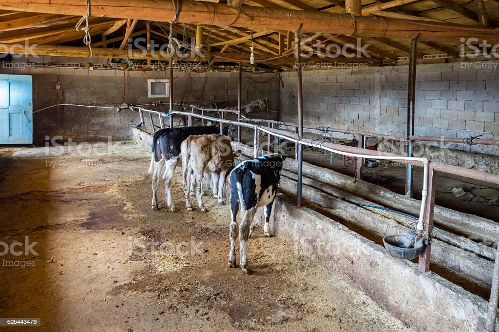 cows on the stables stock photo