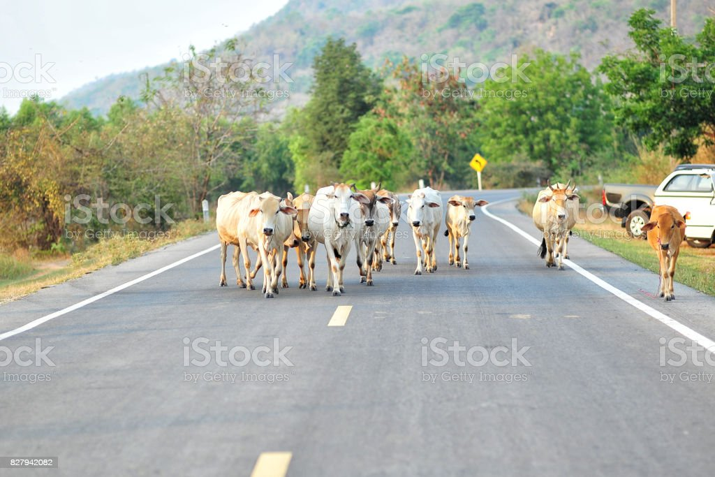 Cows on the street stock photo