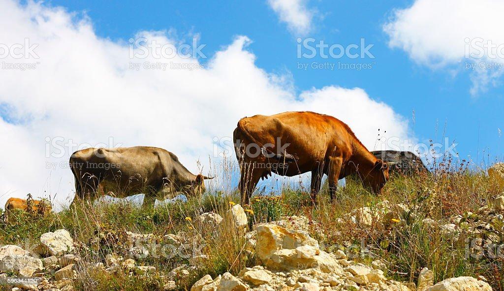 Cows on ths summer meadow against blue sky Lizenzfreies stock-foto
