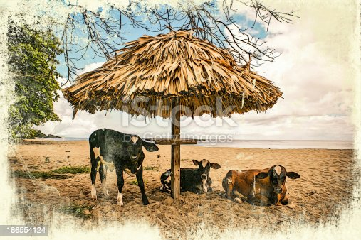 Vintage grunge graphics of cows on the beach