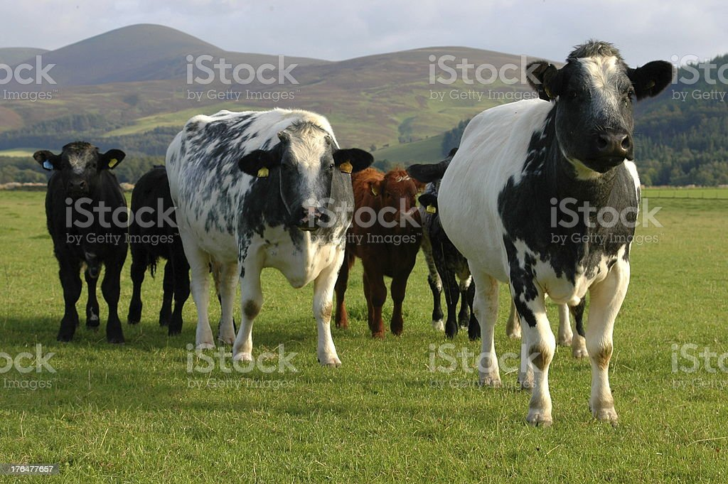 Cows royalty-free stock photo