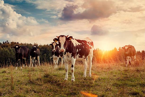 Les vaches - Photo