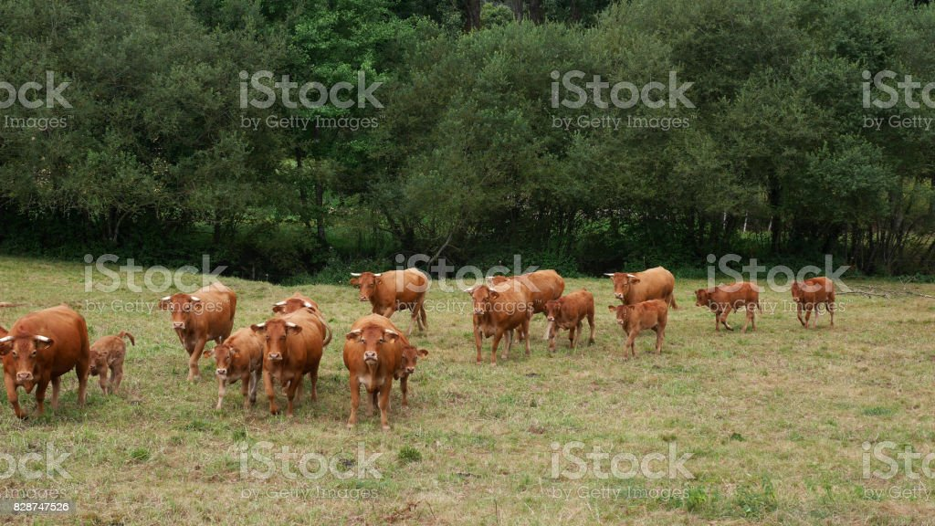 vaches stock photo