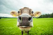 cows at a cow farm
