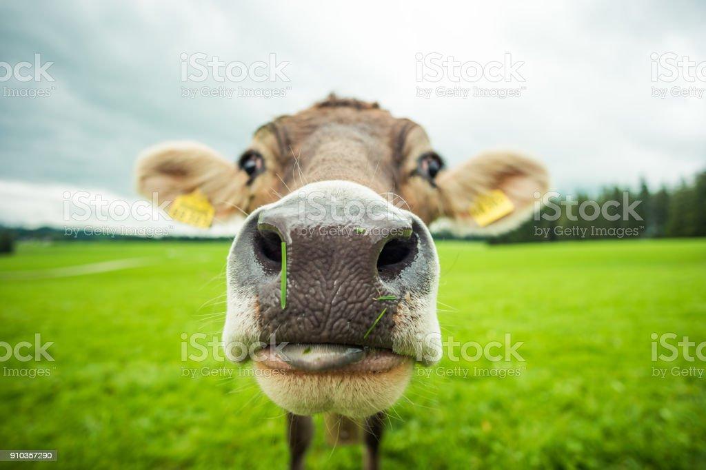 Kühe – Foto