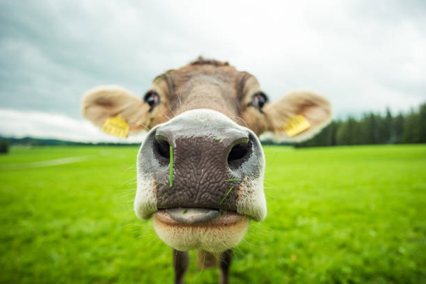 cows - cow stock photos and pictures