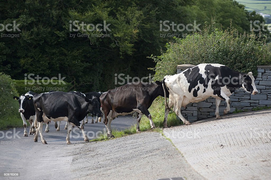 Cows  Agriculture Stock Photo