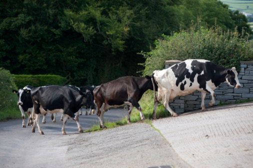 Cows Stock Photo - Download Image Now