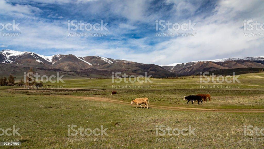 Cows - Zbiór zdjęć royalty-free (Bez ludzi)