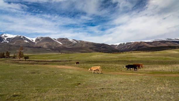 Cows – zdjęcie