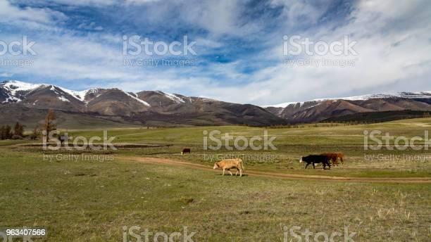 Krów - zdjęcia stockowe i więcej obrazów Bez ludzi