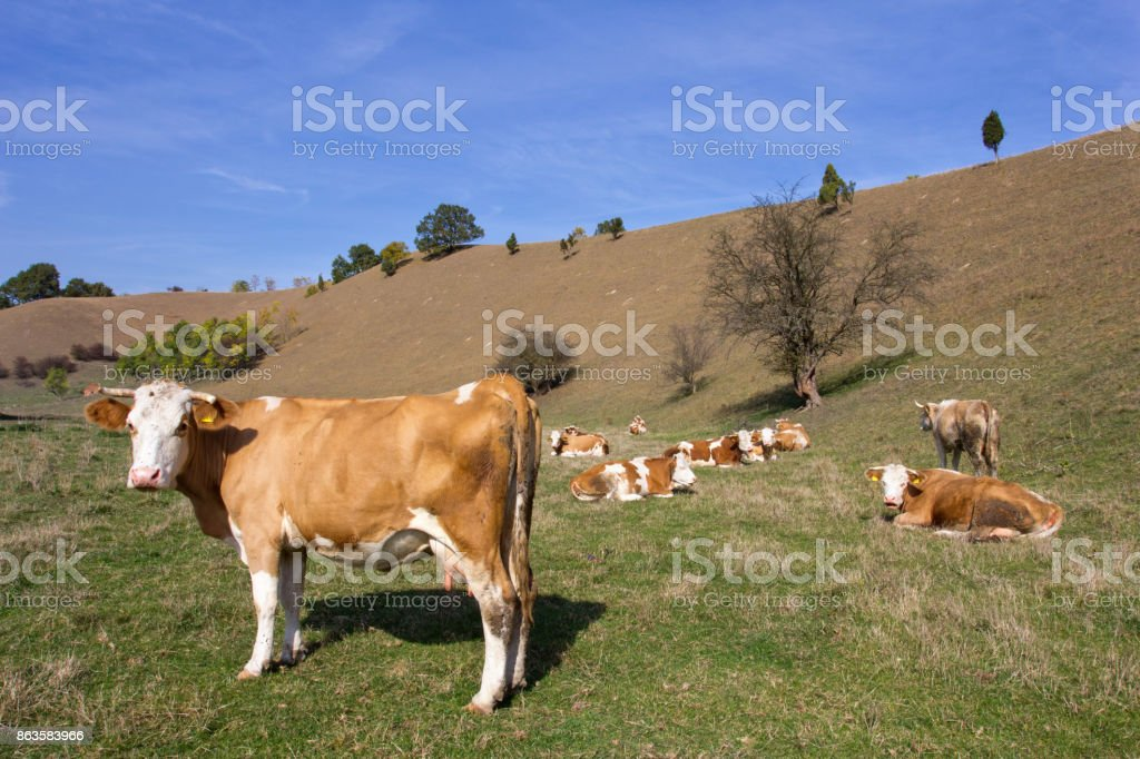 Cows resting in nature stock photo