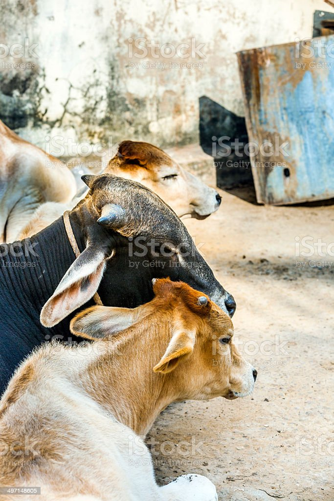 cows resting in the midday heat at the street royalty-free stock photo