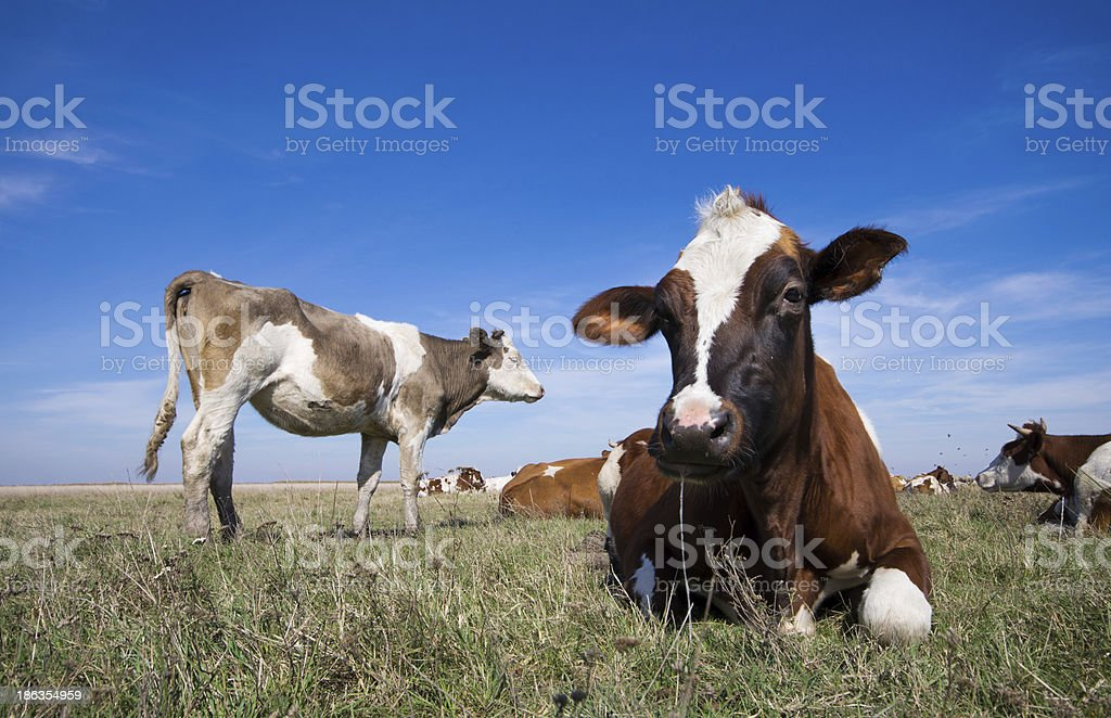 Cows resting royalty-free stock photo