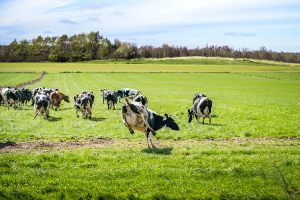Cows run out on a green meadow stock photo