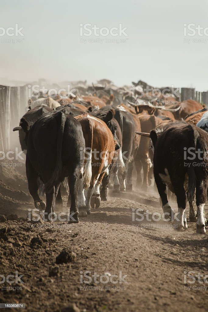 Cows runing uphill. stock photo