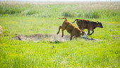 istock Cows runnning and jumping in the grassfield 1133782045