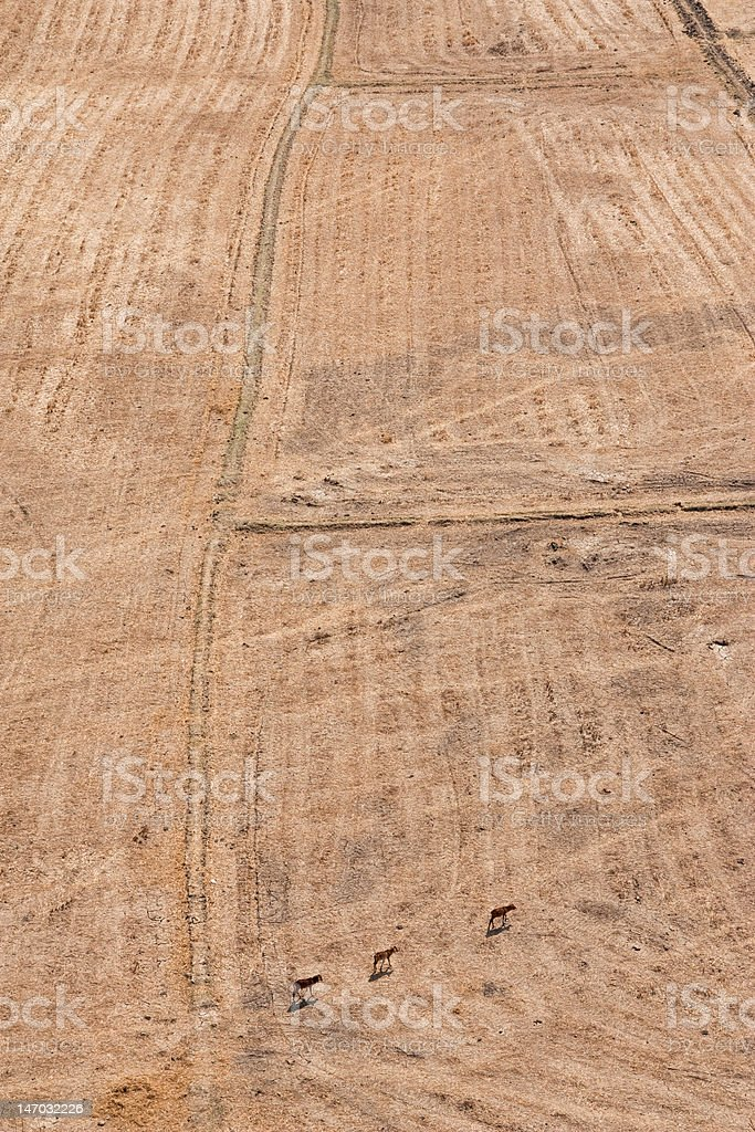 Cows search for water in dry field royalty-free stock photo