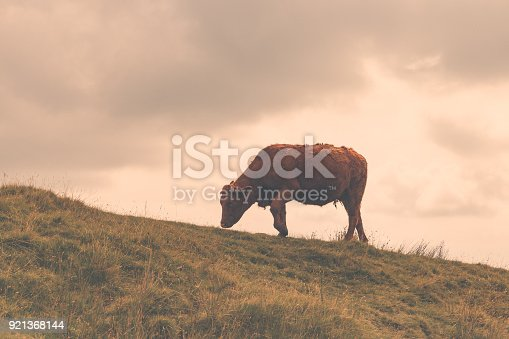 a cow is browsing on a hill in Dartmoor park in England