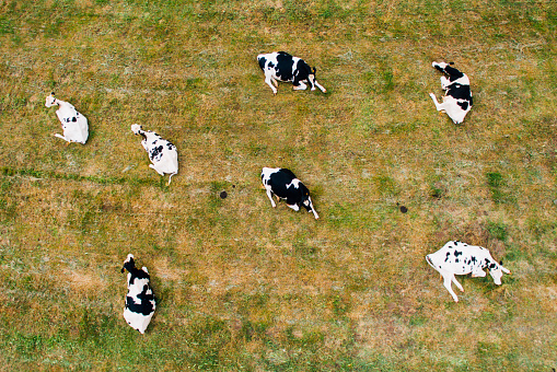 An aerial view of some cows sitting in a field