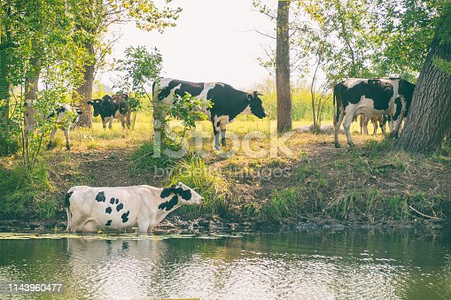 Cows stand in the water on a hot day escaping from the heat