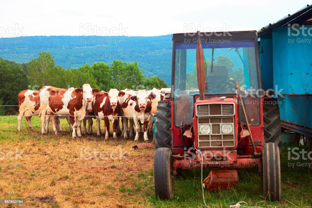 Cows standing at tractor before mechanical milking operation stock photo