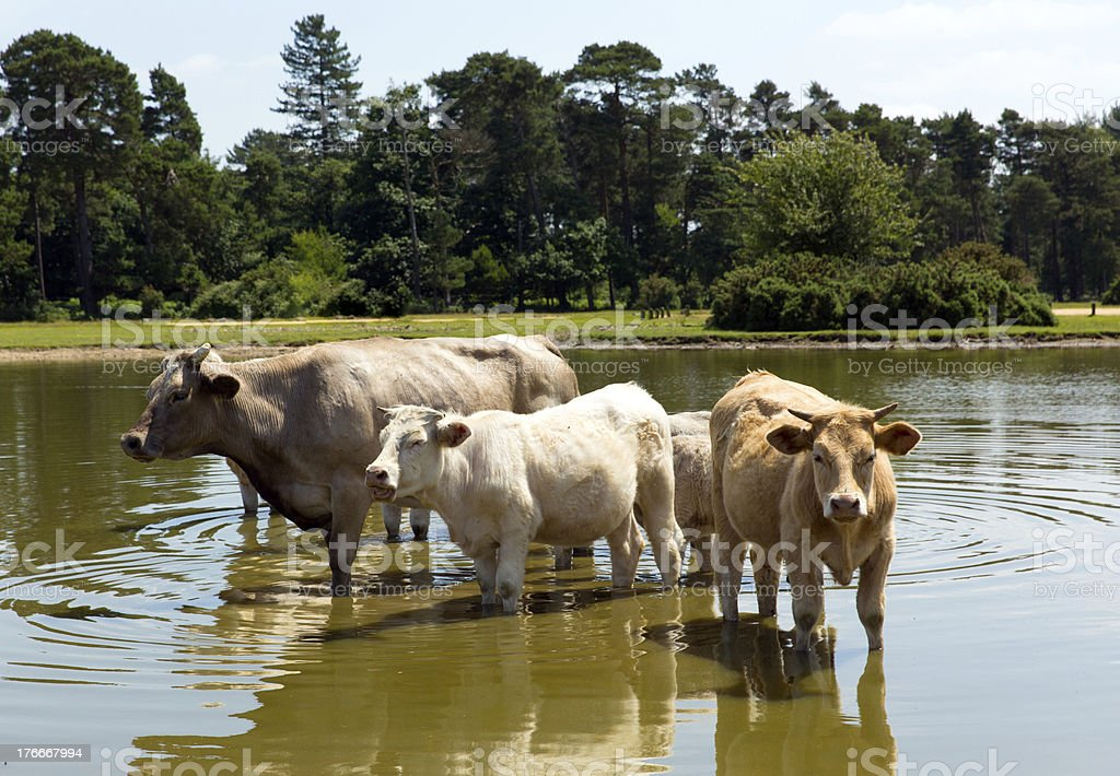 Cows standing in lake royalty-free stock photo