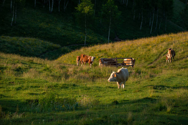 Cows standing near a fence where they drink water with a dark forest in the background in a beautiful scenery in Dumesti, Salciua de Sus, Alba County, Romania stock photo