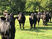 istock Cows Take a long look 1169484667