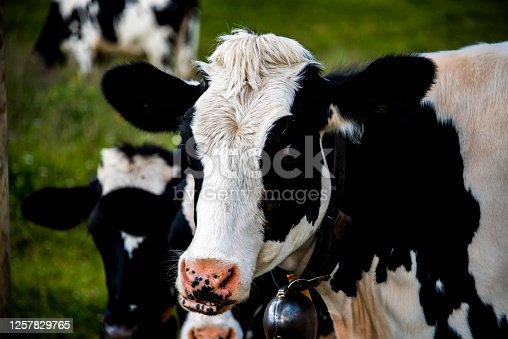 istock cows towards Monte Altissimo one 1257829765