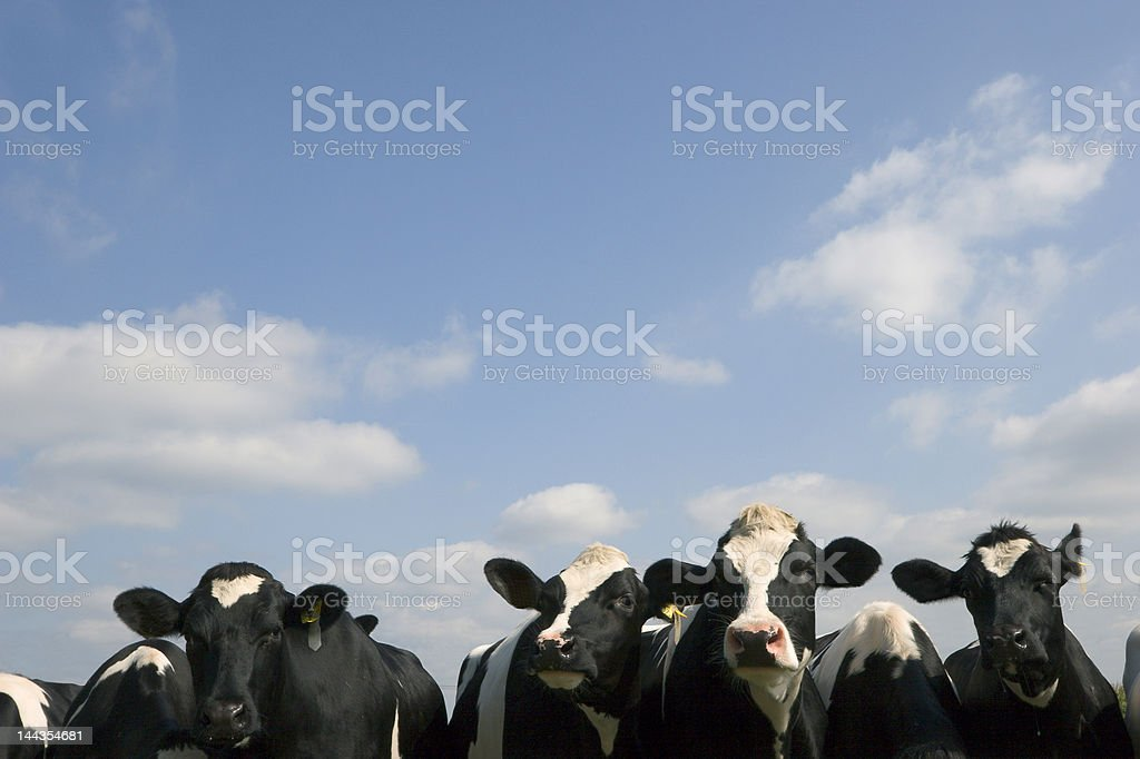 Cows under a blue sky royalty-free stock photo
