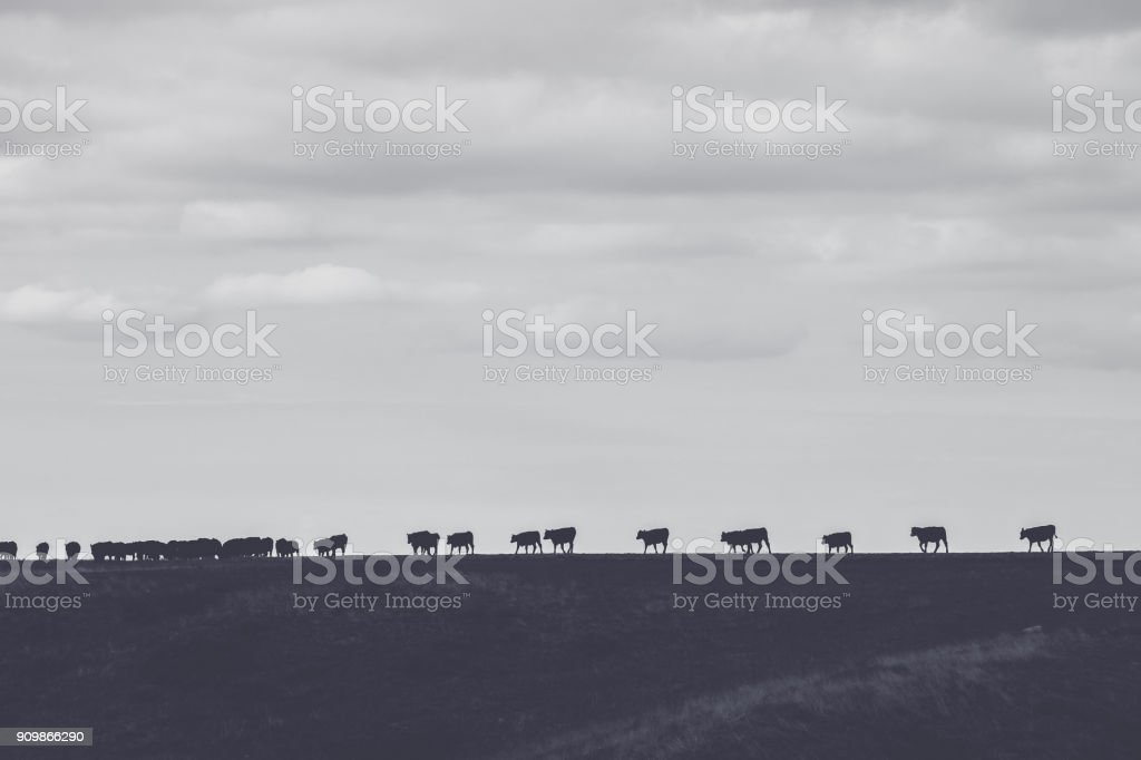 Cows walking home in a single file line on the distant horizon stock photo