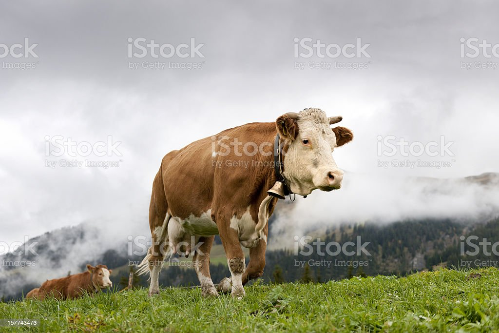 cows walking on alp stock photo