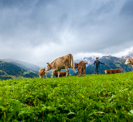 Simmental cows walking on alp in Lenk, Bernese Oberland Switzerland, at cloudy sky