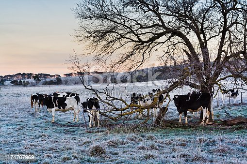 Black-white cows feeding under big tree in the middle of cattle paddock on remote farm in rural NSW of Australia during cold winter season with frost on grass.