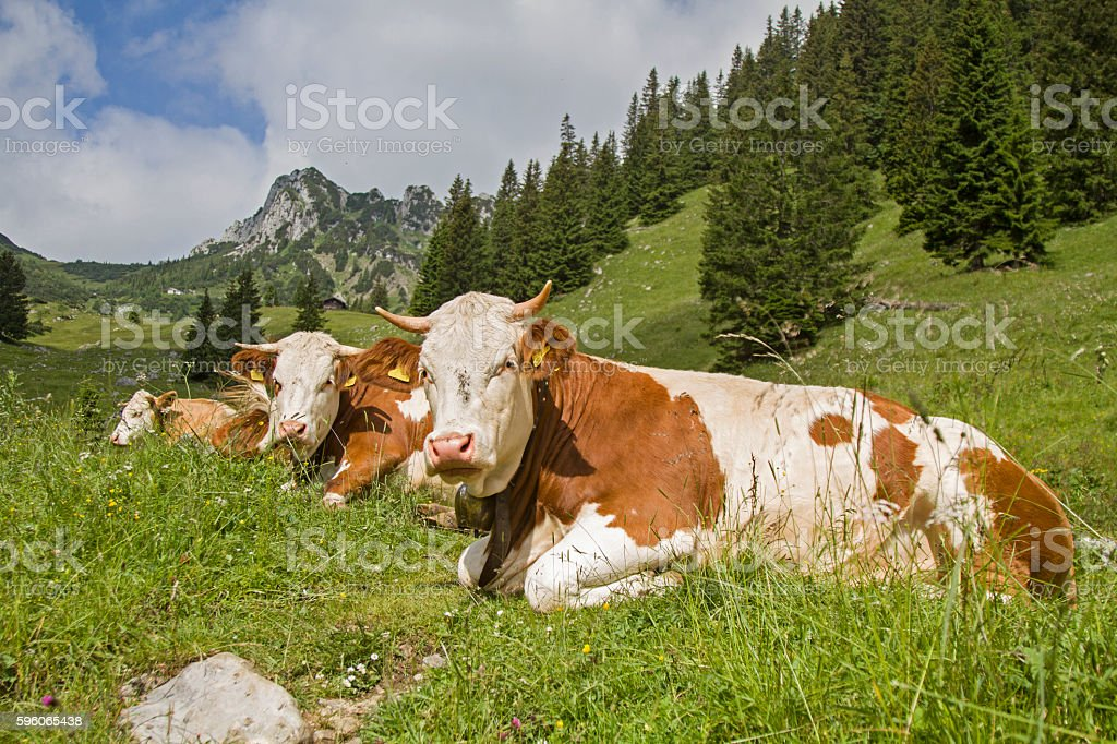 Cows with Ruchenköpfe in background stock photo
